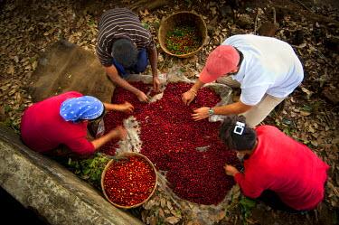 EL01044 El Salvador, Coffee Pickers, Sorting Coffee Berries, Coffee Farm, Finca Malacara, Slopes Of The Santa Ana Volcano, High Altitude Coffee