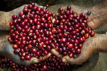 EL01045 El Salvador, Coffee Pickers, Hands Full Of Coffee Cherries, Coffee Farm, Slopes Of The Santa Volcano, Finca Malacara, High Altitude Coffee