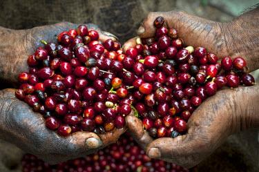 EL01046 El Salvador, Coffee Pickers, Hands Full Of Coffee Cherries, Coffee Farm, Finca Malacara, Slopes Of The Santa Volcano, High Altitude Coffee