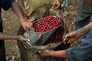 EL01049 El Salvador, Coffee Pickers, Redistributing Coffee Cherries To Make Each Bag Weigh Fifty Pounds, Coffee Farm, Slopes Of The Santa Volcano, Finca Malacara, High Altitude Coffee