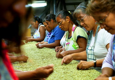 EL01051 El Salvador, Santa Ana, Coffee Mill, Assembly Line, Inspecting Coffee Beans, High Altitude Coffee