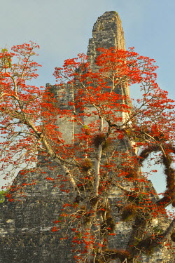 GUA1132AW Coral tree in bloom at the Maya Archaeologial Site Tikal, Tikal National Park, Peten, Mundo Maya, Guatemala, Central America