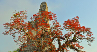 GUA1133AW Coral tree in bloom at the Maya Archaeologial Site Tikal, Tikal National Park, Peten, Mundo Maya, Guatemala, Central America