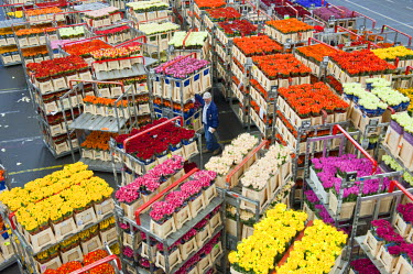 HMS0365606 Netherlands, South Holland Province, Aalsmeer, the largest flower market in the world (Bloemenveiling), sale of flowers by bidding