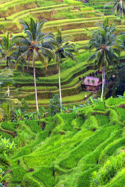 ID01407 Indonesia, Bali, Ubud, Tegallalang/Ceking Rice Terraces