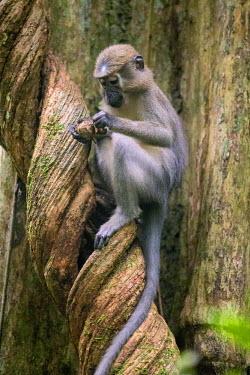CAR0002 Central African Republic, Dzanga-Sangha, Bai-Hokou.  An Agile mangabey eats a forest fruit perched on a twisted liana.
