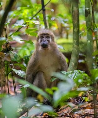 CAR0003 Central African Republic, Dzanga-Sangha, Bai-Hokou.  An Agile mangabey in the tropical rainforest of Dzanga-Sangha.