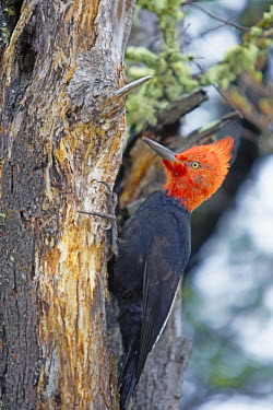 CHI8922AW Male Magellanic Woodpecker (Compephilus magellanicus), Lago Gray, Torres del Paine National Park, Patagonia, Chile, South America.