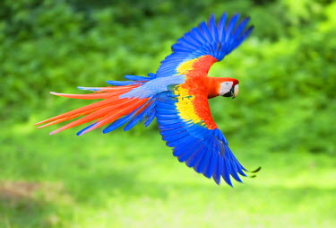Scarlet Macaw (Ara macao) on flight, Corcovado National Park, Costa Rica