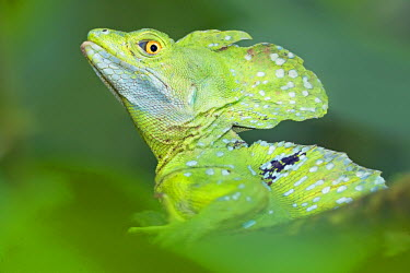 Emerald Basilisk (Basiliscus plumifrons) watching out for dangers, Costa Rica