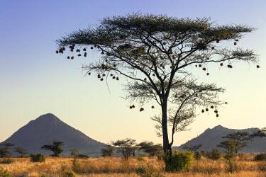 KEN8240 Kenya, Samburu National Reserve, Samburu County. Numerous weaver birds' nests hang from the branches of a tall acacia tree.