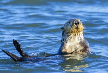 AR4885200048 Sea otter (Enhydra lutris), Elkhorn Slough, California, USA