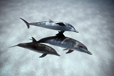 CA05JCO0038 Bahamas, Great Bahama Bank, Atlantic spotted dolphins (Stenella frontalis) underwater