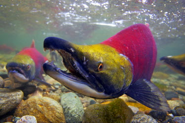 CN02JCO0046 Canada, British Columbia, Roderick Haig-Brown Provincial Park, Sockeye salmon (Oncorhynchus nerka) underwater in the Adams River