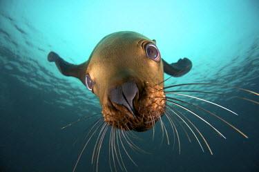 CN02JCO0051 Canada, British Columbia, Hornby Island, Steller sea lion (Eumetopias jubatus) underwater