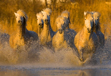 EU09BJY0003 Europe, France, Provence. Seven white Camargue horses running in water.