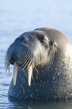 EU21SKA0431 Greenland Sea, Norway, Svalbard Archipelago, Spitsbergen. Walrus, Odobenus rosmarus, profile of a bull in shallow water along the coast.