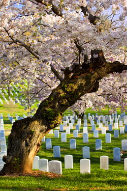 US09BJN0059 Blossoming cherry trees stand guard over the tombstones at Arlington National Cemetery near Washington DC, USA.