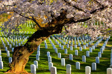 US09BJN0058 Blossoming cherry trees stand guard over the tombstones at Arlington National Cemetery near Washington DC, USA.