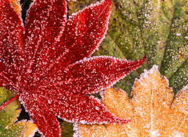 USA, Oregon, Frosted maple leaves, close-up (Large format sizes available)