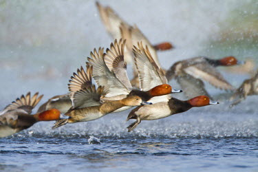 US44LDI1102 Redhead Duck (Aythya americana) flock flying from freshwater pond near Laguna Madre, Texas, USA