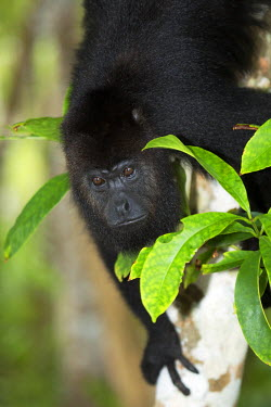 BLZ0069AW Belize, Belize District, a Yucatan or Guatemalan Black howler monkey (Alouatta pigra), a subspecies of Geoffroy�s or Black-handed Spider Monkey at the Community Baboon Sanctuary at Bermudian Landing n...
