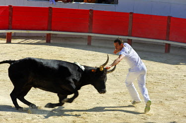 FRA7883 France, Languedoc-Roussillon, Herault, Montpellier. The course libre  is a bloodless spectacle in which the bullfighter attempts to snatch a rosette tied between the horns of a young bull.