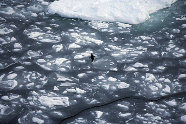 ANT0850AW Antarctica, Pack Ice, Southern Ocean. A lone adelie penquin wanders across the Pack Ice.