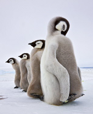 Western Antartica, Antarctic Peninsula, Snow Hill Island, Weddell Sea. Emperor Penguin chicks of four to five months old.