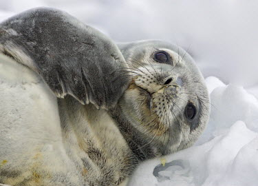 ANT0872AW Antarctica, Antartic Peninsula, Southern Ocean. Weddell Seal at rest in the Pack Ice.