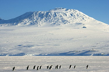 ANT0903AW Antarctica, Mt Erebus, Ross Island. A party of Adelie Penquins trekking across the fast ice beneath Mount Erebus an active volcano on Ross Island.