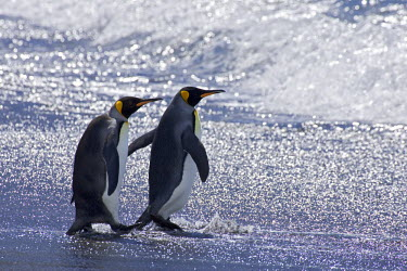 FAL0678AW Falkland Islands, East Falklands, Volunteer Point, South Atlantic Ocean. King Penguins headed for the ocean to bathe and feed. The majority of the King Penguins breeding in the Falkland Islands are fo...
