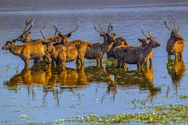 IND7498AW Asia, India, Rajasthan State, Sawai Madhopur District, Ranthambore National Park. A herd of male Sambar Deer gather in a Lake to feed on aquatic vegetation.