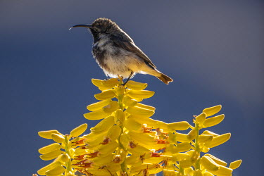 NAM6103AW Africa, Namibia, Namib Desert, Sossusvlei Desert Lodge. The Dusky Sunbird is a relatively dull sunbird found in arid savanna, thickets and shrublands in Southern Africa including Namibia. Non-breeding...