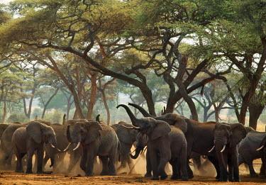 TZ3326AW Tanzania, Tarangire National Park; Masailand. Bull elephants at waterhole in acacia woodland responding to the approach of other elephants.