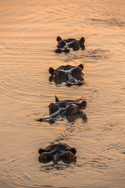 ZAM7874AW Africa, South Luangwa National Park, Zambia. A pod of Hippos relaxing in the Luangwa River at dusk or sunset.