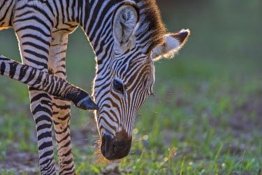 ZAM7875AW Africa, South Luangwa National Park. Common or Burchell's Zebra foal grooming or scratching. A race or sub-species known as Crawshay's Zebra, which lacks the shadow stipes of other southen African zeb...