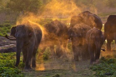SRI1836AW Asia, Minneriya National Park, North Central Province, Sri Lanka. A herd of elephants dust bathing at sunset or dusk.