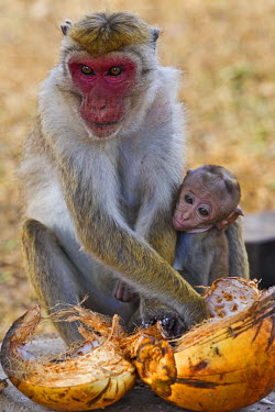 SRI1842AW Asia. Sri Lanka, North Central Province, Anuradhapura District, Anuradhapura. A mother Toque Macaque with young feeding on a coconut discarded by pilgrims at the Poson Festival. It is an Old World mon...
