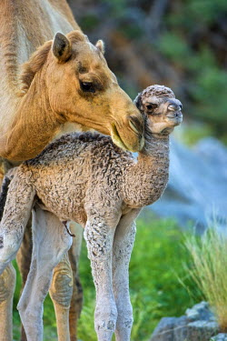 OMA2412AW Middle East, Arabian Peninsula, Sultanate of Oman, Southern Province, Dhofar Governate, Salalah. Mother Camel with newborn calf in the Dhofar region in southern Oman.