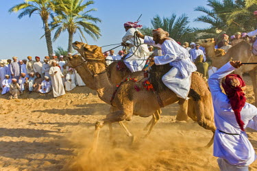 OMA2417AW Middle East, Arabian Peninsula, Sultanate of Oman. Traditional camel race between two individuals in desert country in Oman during the annual celebration of Eid. The riders are at the starting line wi...