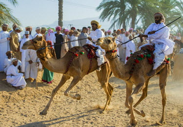 OMA2418AW Middle East, Arabian Peninsula, Sultanate of Oman. Traditional camel race between two individuals in desert country in Oman during the annual celebration of Eid. The riders are at the starting line wi...