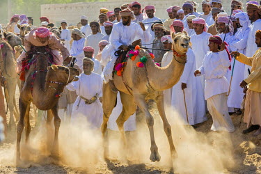 OMA2427AW Middle East, Arabian Peninsula, Sultanate of Oman. Traditional camel race between two individuals in desert country in Oman during the annual celebration of Eid. The riders are at the starting line wi...