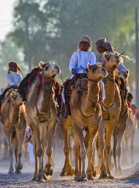 OMA2438AW Middle East, Arabian Peninsula, Sultanate of Oman. Camels and their handlers arriving at the venue for traditional camel races during the annual celebration of Eid.