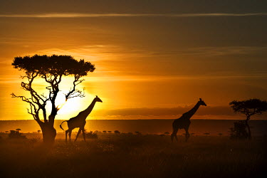 KEN8350AW Kenya, Masai Mara, Narok County. Masai Giraffe walking past Balanites treees or Desert Dates at dawn.
