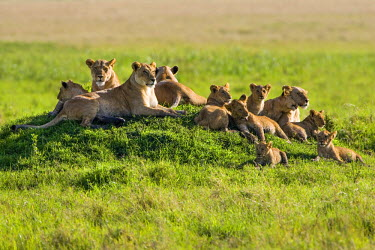 KEN8372AW Kenya, Masai Mara, Musiara Marsh, Narok County. A pride of lions with their young cubs resting on a termite mound in the marsh early in the morning