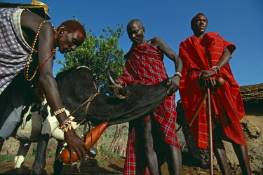 KEN8375AW Kenya, Masai Mara, Narok County. Masai bleeding a cow. The blood is being collected in a calabash and will be mixed with milk to provide a nutricious supplement to their diet.