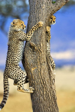 KEN8386AW Kenya, Masai Mara, Mara Conservancy also known as the Mara Triangle, Narok County. 2 five month old cheetah cubs climbing a Balanites tree or Desert Date. Cheetah cubs are sometimes able to escape fro...