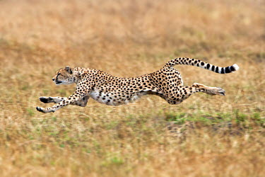 KEN8387AW Kenya, Masai Mara, Mara Conservancy also known as the Mara Triangle, Narok County. A female cheetah sprinting after a Thomson's Gazelle. Cheetahs can reach speeds in excess of 100kph.