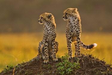 KEN8391AW Kenya, Masai Mara, Narok County.  Six month old Cheetah cubs alert at dawn. Their mother was looking for prey.